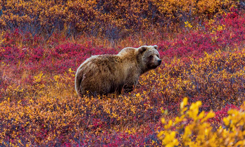 Spot bears during autumn in Canada