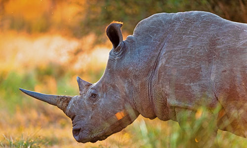 Spot rhinos at Kruger National Park