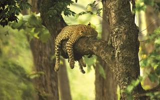 leopard sleeping on branch