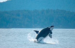 Orca whale, Canada