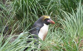 Macaroni Penguin in Antarctica - David McGonigal