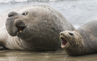 Admire the incredible Elephant Seals